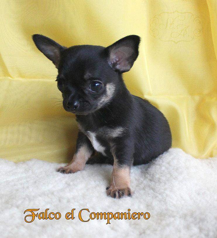 falco20.5-1